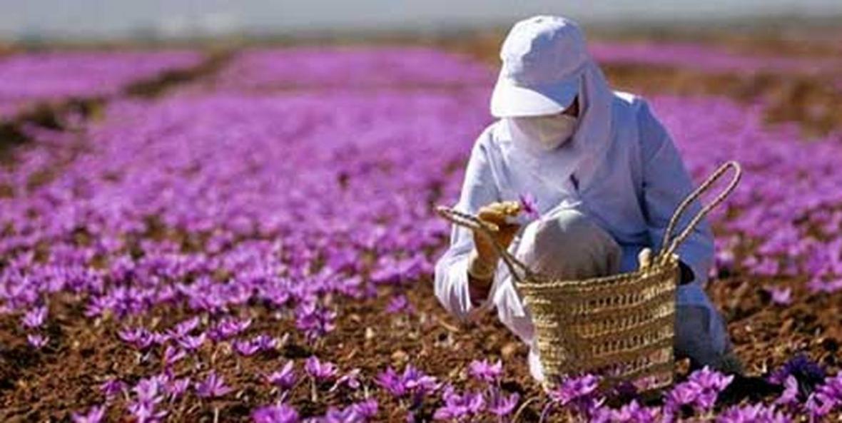 پرداخت تسهیلات یارانه دار توسط بانک کشاورزی برای حمایت از توسعه صادرات زعفران