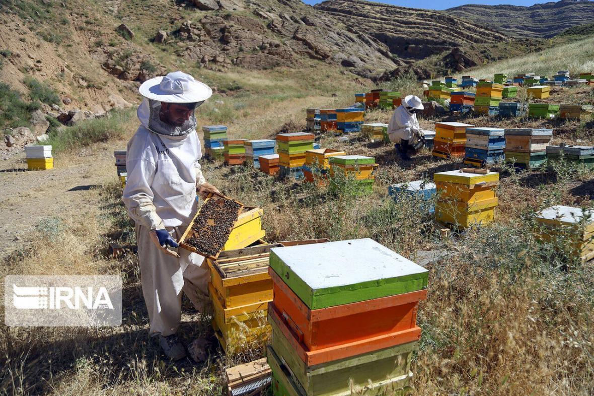 خبرنگاران تولید عسل در ابرکوه 20 درصد افزایش یافت